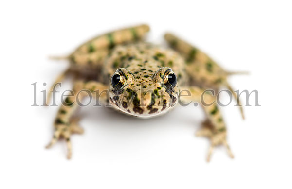 Front view of a Common parsley frog from up high, Pelodytes punctatus, isolated on white