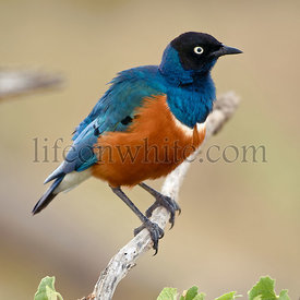 Superb Starling, Lamprotornis superbus, in Serengeti National Park of Tanzania, Africa