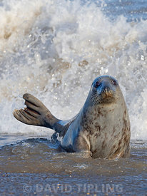 Grey Seal Halichoerus grypus female in surf Horsey Norfolk.
