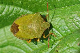 Closeup on a overwintering green shield bug , Palomena prasina