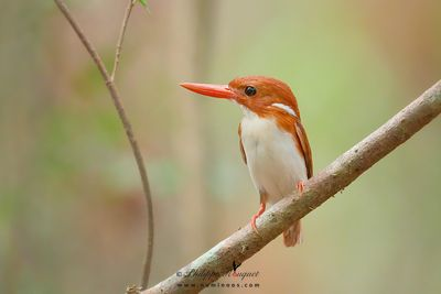 Pygmy Kingfisher portrait