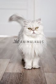 White persian cat standing indoor