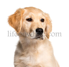 Golden Retriever, 4 months old, in front of white background