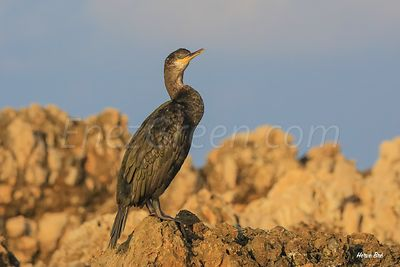 Cormoran on Saint-Honorat island