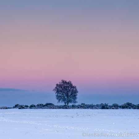Tree at twighlight in snow