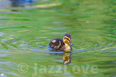 One cute duckling swimming in pond.