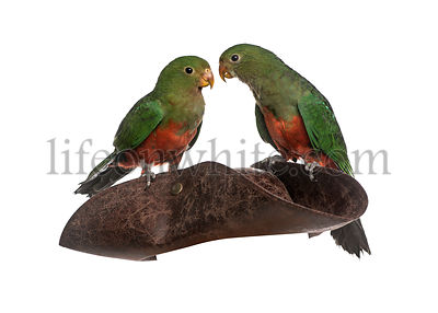 King Parrot isolated on white
