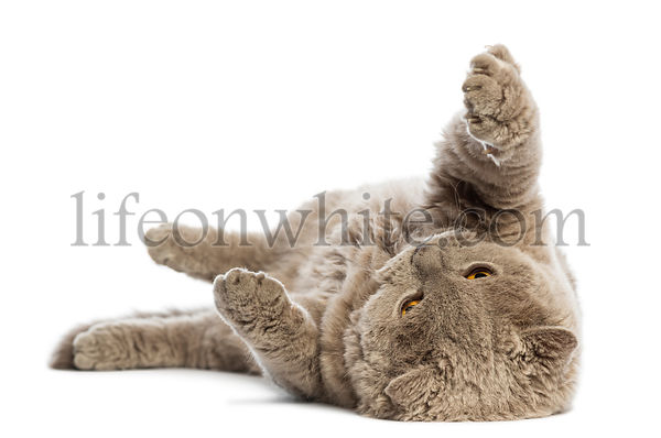 Selkirk Rex lying on its back against white background