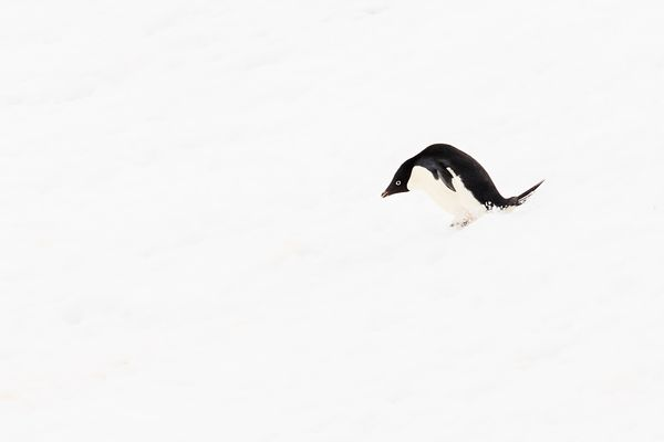 Adelie Penguin Skiing Downhill