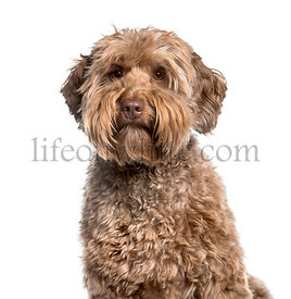 Labradoodle , 2 years, looking at camera against white background