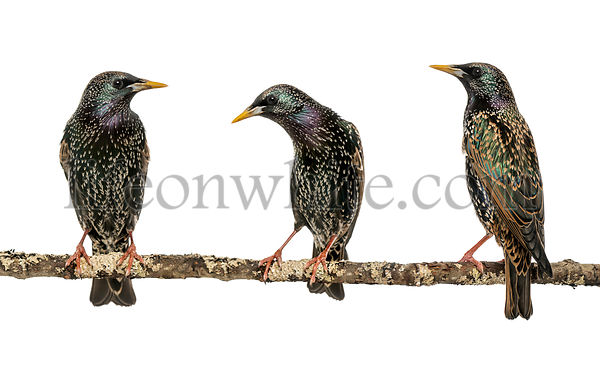 Three Common Starlings, Sturnus vulgaris, perched on a branch