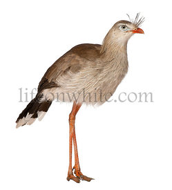 Portrait of Red-legged Seriema or Crested Cariama, Cariama cristata, standing in front of white background