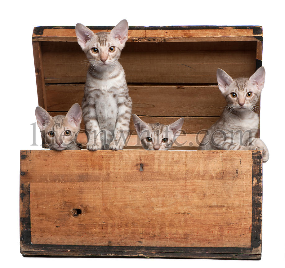 Ocicat kittens, 13 weeks old, emerging from a wooden box in front of white background