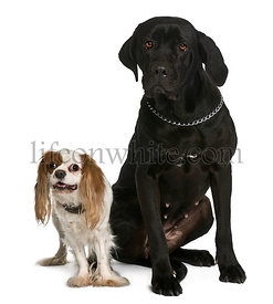 Cane corso and Cavalier king Charles dogs sitting in front of white background