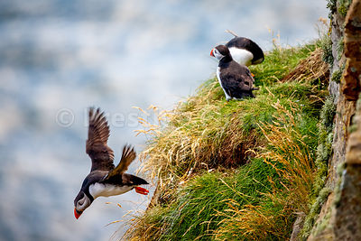Puffin flies off grassy ledge leaving two behind