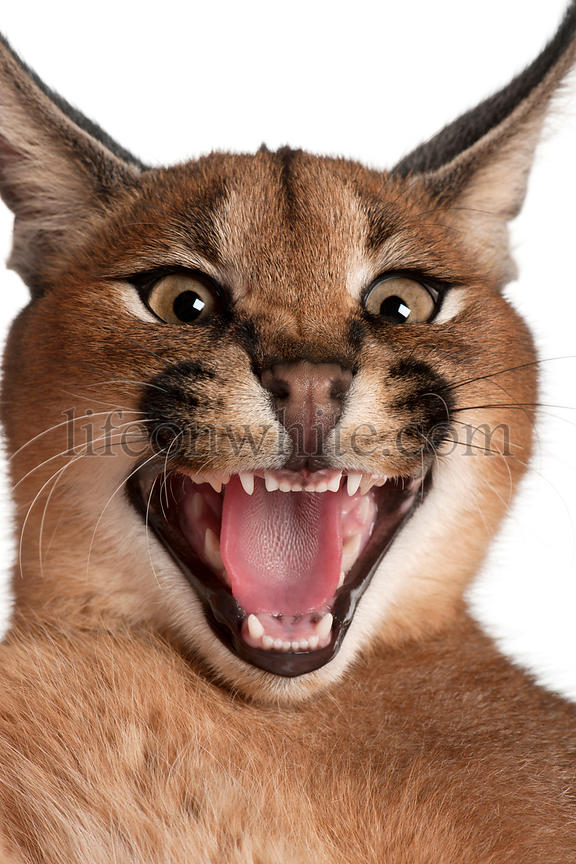 Close-up of Caracal hissing, Caracal caracal, 6 months old, in front of white background