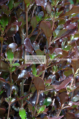 Coprosma repens 'Hutpac' Pacific Night. Plantarium. Hollande