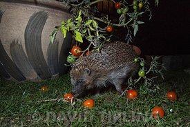 Hedgehog, Erinaceus europaeus in garden, Norfolk autumn