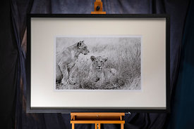 Lion 3: Kenya 2019. Photographer: Neil Emmerson. £975 inc UK VAT.