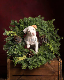 Charming whitte and tan puppy poses with a natural everygreen wreath on a wodden box with a dark red background for the holidays