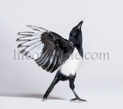 Common Magpie, Pica pica, spreading wings to take off, in front of white background