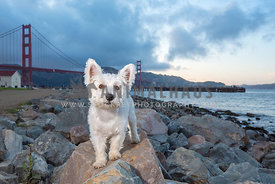 close up of westie standing on rocks in front of the Golden Gate Bridge