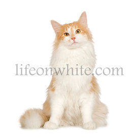 Norwegian Forest Cat (7 months)