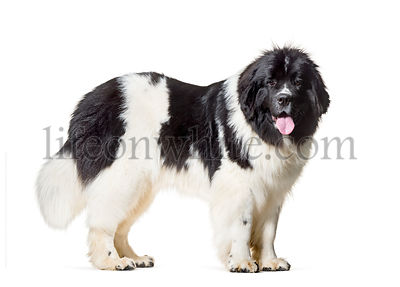 Newfoundland , 10 months old, standing against white background