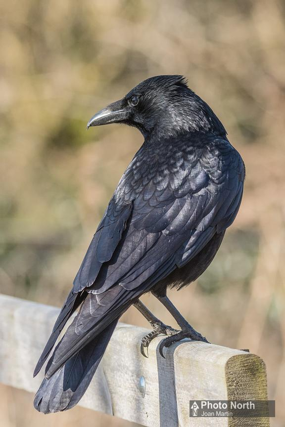 CROW 01B - Carrion crow