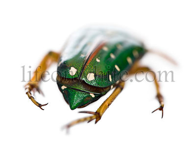 East Africa flower beetle, Stephanorrhina guttata, studio shot