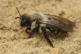 A female grey mining bee, Andrena vaga crawling over the sand