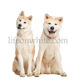 Two Akita Inu sitting, 2 years old, isolated on white