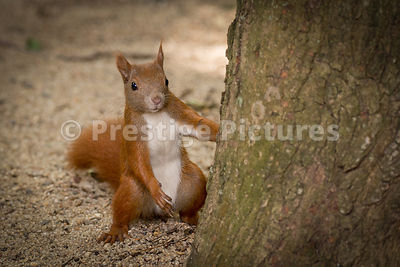 Cheeky red squirrel watching al fresco diners next to the Riechstag in Berlin