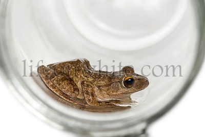 Common frog in a glass jar, isolated on white