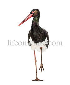 Black stork, Ciconia nigra, walking against white background