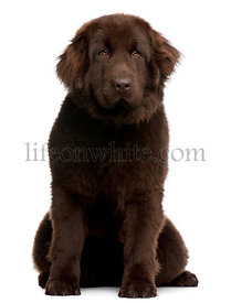 Brown Newfoundland puppy, 10 months old, sitting in front of white background