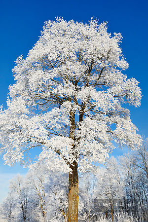 Norway maple with hoar frost in winter (lat. acer platanoides) - Europe, Germany, Bavaria, Upper Bavaria, Bad Tölz-Wolfratsha...