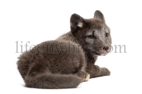 Rear view of an Arctic fox cub, Vulpes lagopus looking backwards, 2 months old, isolated on white