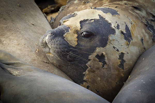 Female southern elephant seal (Mirounga leonina) in molting season on the Peninsula Valdes, Argentina.