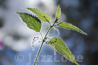 Stinging nettle plant growing on british meadow in summer.Blurred background bokeh.