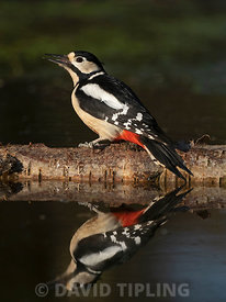 Great spotted Woodpecker Dendrocopos major at woodland pool Norfolk