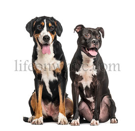 Two dogs sitting together, Greater swiss mountain dog and American staffordshire