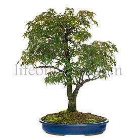 Acer bonsai tree, isolated on white