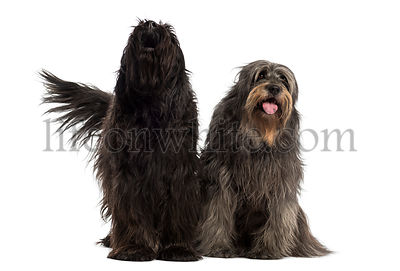 Couple of Catalan sheepdogs together barking and panting, isolated on white