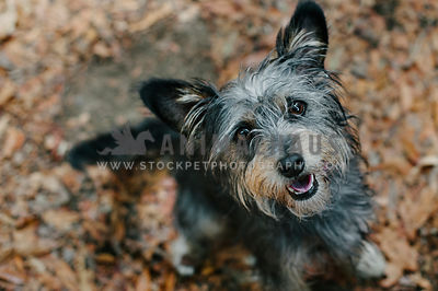 A scruffy grey dog looking up at the camera