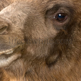 Close-up on a camel