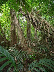 Strangler Fig growing up large emnergent tree in rainforest at Nara, Makira Island, Solomon Islands, South Pacific