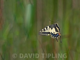 Swallowtail butterfly, Papilio machaon,  taking off, Norfolk Broads, UK, June