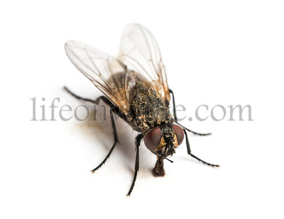 Dirty Common housefly eating, Musca domestica, isolated on white