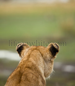 Close-up rear view of Serengeti National Park, Serengeti, Tanzania, Africa